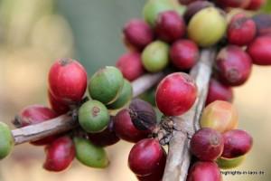 Kaffeebohnen am Strauch