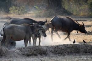 Wasserbüffel laufen frei herum